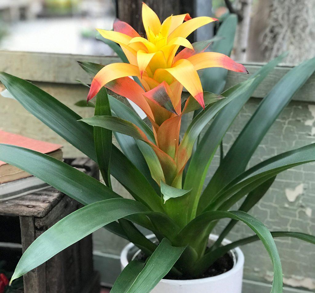پرورش و نگهداری گیاه آناناسیان