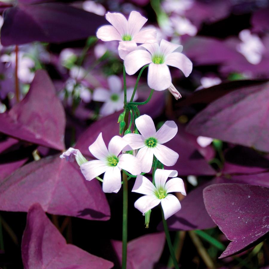 کاشت و نگهداری از گل اکسالیس